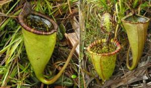 pitcherplant